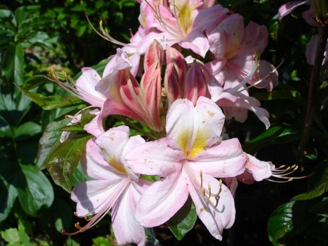R. viscosum 'Sommerduft' blomstrer sent og dufter. Den er løvfældende, med smukke høstfarver.