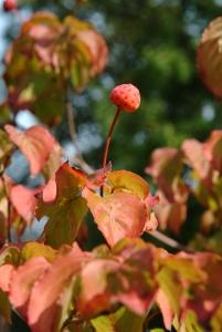 Cornus kousa 'Miss Satomi' med orangefarvet eftersløv og frugt.