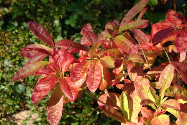 R. 'Lemonora' er en af de rigtig mange skønne løvfældende Rhododendron.