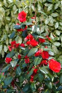 Camellia 'Satan's Robe' fotograferet i Landbohøjskolen.