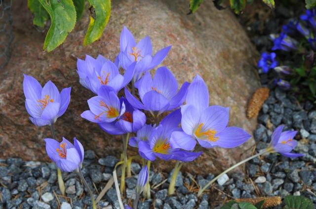 Crocus speciosus 'Cassiope' blomstrer i oktober. (Se artiklen her på bloggen).