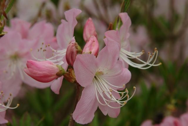 R. schlippenbachii blomstrer før løvspring.