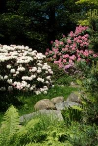 """De øverste """"hovedveje"""" er tilsået med græs, som kuns passes enkelte gange pr. sæson. Her går man rundt i naturen mellem store R. smirnowii, R. yakushimanum og i baggrrunden R. 'Furnivall's Daughter'"""
