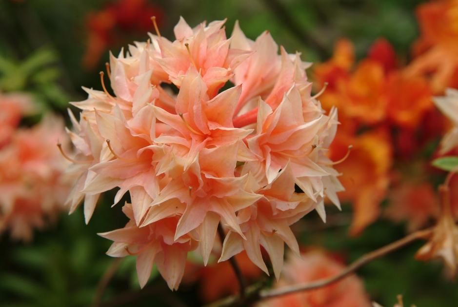 Azalea (Rhododendron) 'Glowing Embers' springer ud omkring den 1.6. Azalea findes i alle farvenuancer, fra renhvide til dybrøde, fra sarte til kraftige farver. De fleste Azalea blomstrer lidt senere, eller senere end de stedsegrønne Rhododendron.