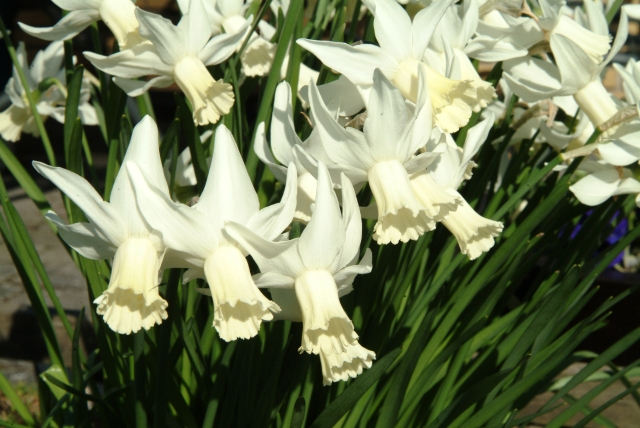 Narcissus triandus 'Albus' i april. De fleste Narcisser trives i surbundsbedet. Husk lidt dræn under løgene.