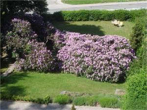 Op mod 100 år gammelt Rhododendronbuskads