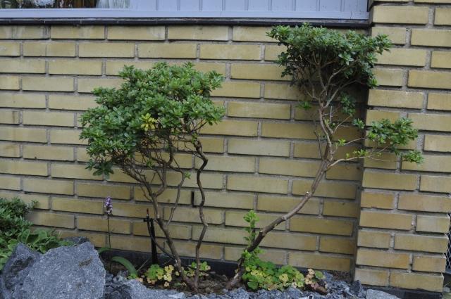 """Opstammet dværgrhododendron 'Songbird' (R. russatum-hybrid). Planten havde flere døde partier, som først blev fjernet. Herefter blev den """"opstammet"""" på flere grene. Nu er der flere """"hovedstammer"""", hver med sin krone."""