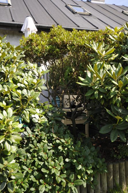 R.'Gletschnernacht' opstammet mellem større sorter. Ved at stamme planten op (løfte kronen) opnås mere plads forneden, som kan indtages af den mindre Rhododendron i forkanten. Herved kan alle planterne bevares i bedet en tid endnu.
