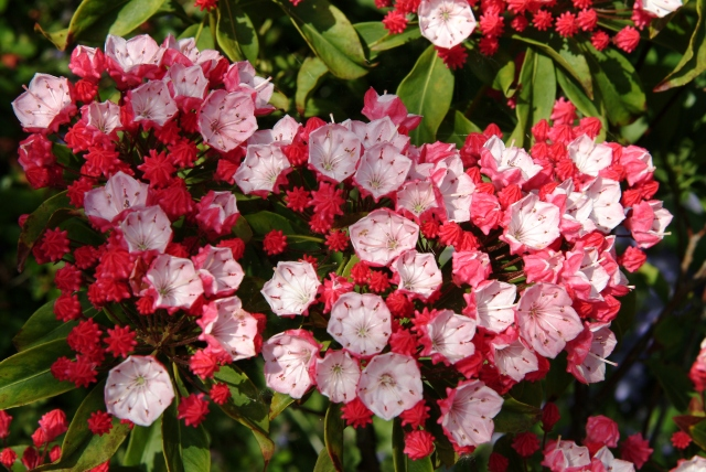 Kalmia latifolia 'Ostbo Red' er en gammel havehybrid.
