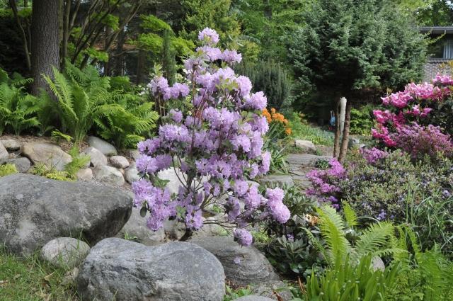 Smuk og dekorativ opret let busk i fuld flor ultimo maj.