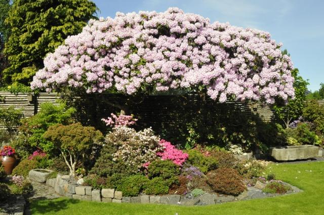 R. 'Onkel Dines' knap 5 m høje, fotograferet den 10.6.2013. Selv med en stige, er det umuligt at fjerne de visne blomsterstande, hvilket ikke er sket i flere år. Blomstringen kan alligevel ikke være mere overvældende, men sorten er også meget nem som haveplante.