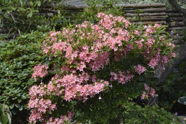 R. prunifolium i blomst den 31.07.15. Endnu en uges tid kan vi glæde os over blomsterne - og duften!