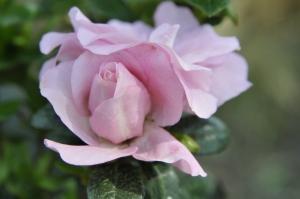 R. 'Scotian Rosebud'