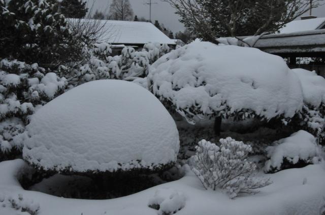 Efter snestormen 9.12.12 ligger sneen tungt på planterne. Særligt udsat for flækkede grenvinkler er de små buske med spinkle grene, men også den store opstammede R. yakushimanum til højre i billedet, kan trods dens størrelse og alder være i farve for at brække grene ved deres basis.