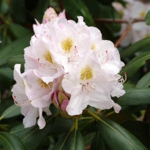 rhododendron catawbiense grandiflorum at have en have. Black Bedroom Furniture Sets. Home Design Ideas