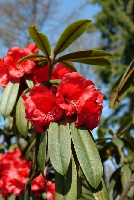 R. strigillosum i blomst i midten af marts. Planten står let besjyttet, men meget lyst, under løvfældende træer.