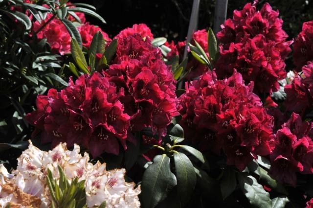 rhododendron aeschbacher s rubin syn schwitter s rubin. Black Bedroom Furniture Sets. Home Design Ideas