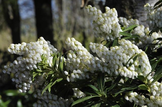 Pieris japonica 'Debutante' har indtil 12 cm lange blomsterklaser. Billedet er fra sidste uge i marts.