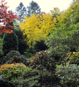 Imellem alle de stedsgrønne Rhododendron lyser høstfarverne på den røde Japanske Løn og det gule Hjertetræ op.