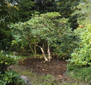 Store Rhododendron er stammet op. Et tykt lag spagnum er med til at forhindre ukrudt, indtil en senere beplantning med Hosta dækker arealet.