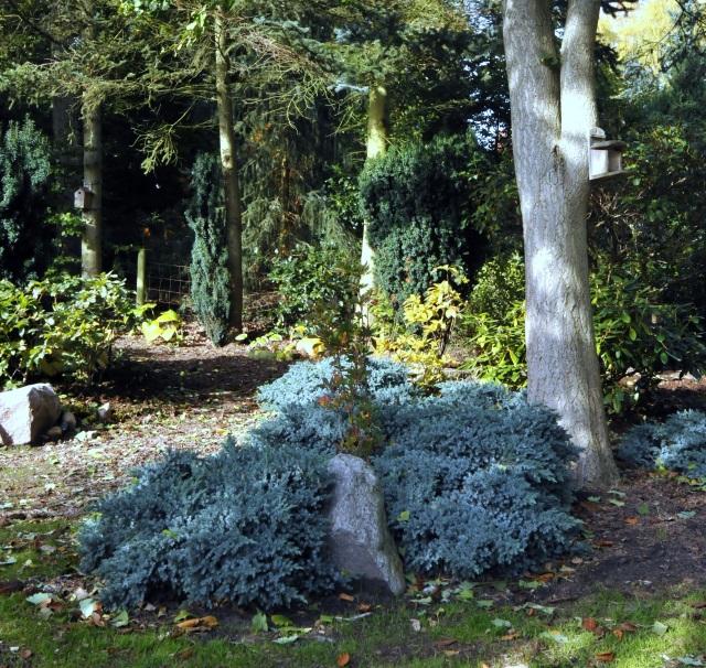 Langs stien er der i baggrunden plantet storbladede Hosta. Bag den blå enebær vokser en en Azalea med gylde blomster i juni.