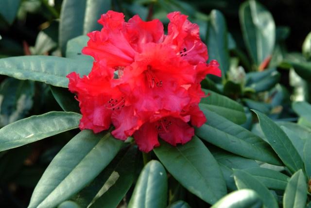 R. 'Taurus' med sine blodrøde blomster over de lange slanke blade i april.