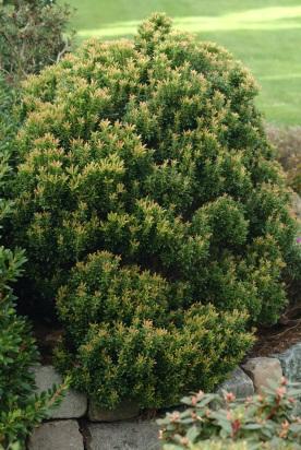 Pieris japonica 'Minor' er meget langsom, nærmest dværgagtig i væksten. Den viste plante er 25 år gammel. Tilvæksten i juni er sart rosa.