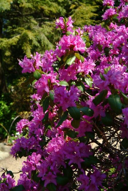 R. concinnum form med dyb violette blomster.