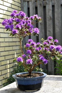 Bomzaiskål med R. russatum. Planten opbevares under store stedsegrønne fra nov. til foråret sætter ind.