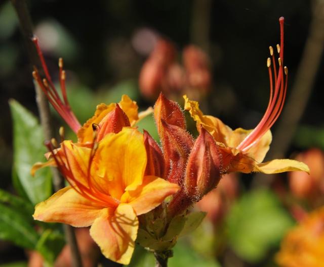 R. calendulaceum med de elegante lange støvdragerei juni.