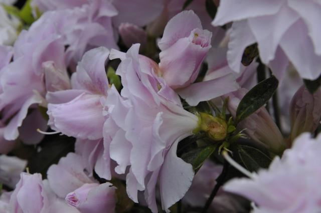R. 'Mrs. Nancy Dippel' med fyldte blomster og rosenlign. knop ultimo maj.