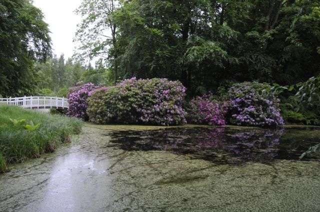 Store R. ponticum ved søbredden i juni måned.