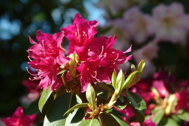 R. concinnum var. pesudoyanthinum med dyb vinrøde blomster i april.