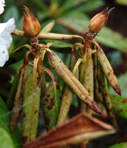 R. dichroanthum med stærke frostskader. Knopperne vil bladhjørnerne vil sikkert skyde. Ellers må grenene klippes lidt tilbage senest i april. Blomsterknopperne er færdige.