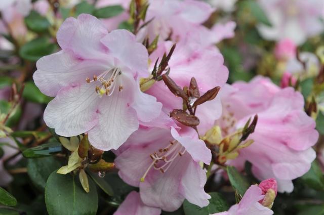R. williamsianum 'Wega' med blomster og begyndende bronzefarvet tilvækst