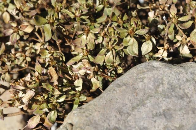 Japansk Azalea med kraftige udtørringsskader. Når planten igen kommer i vækst, er der meget stor sandsynlighed for at den sætter nye skud i bladhjørnerne. Vigtigt er det at vande når frosten slipper og gøde hurtigst muligt.