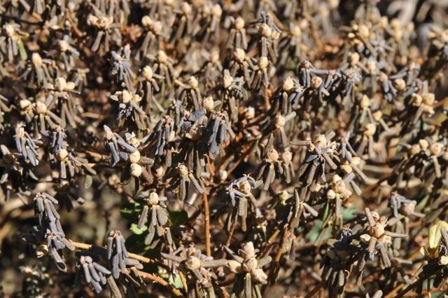 R. impeditum med voldsomme tørkeskader. Den har prøvet det før, og rettede sig fint. De fleste knopper sprang også ud.