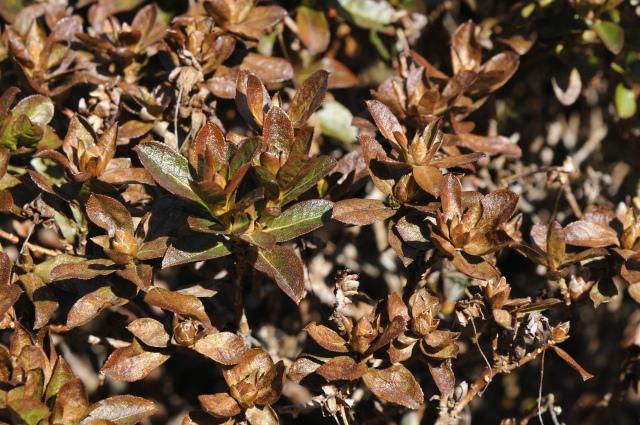 """Dværgrhododendron 'Curlew', som ofte blomstrer slut i april med store lysegule blomster er meget frostskadet. Måske """"ryger"""" knopperne, men den skal nok skyde på grenene, så lad saksen være!"""