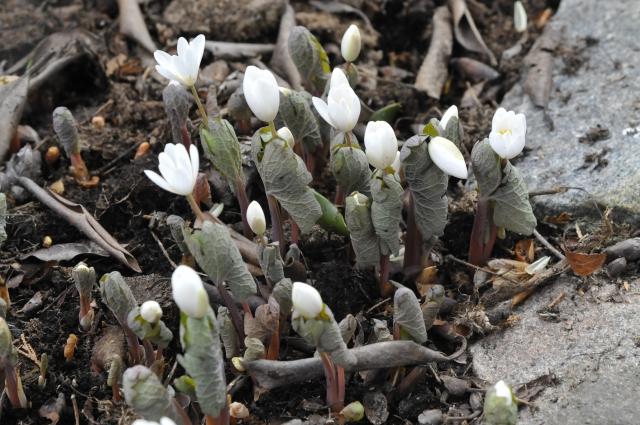 Sanquinaria canadensis i udspring sidste uge i april 2013. Løvet danner et svøb omkring  blomsten.