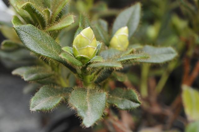 De kraftige behåring er et af plantens kendetegn.