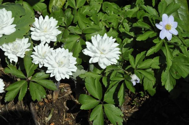 Den fyldte form af Sanquinaria canadensisses her sammen med den lyseblå anemone *Robinsoniana'