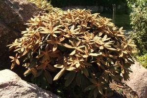 R. elegantulum er ligeledes fra Kina.