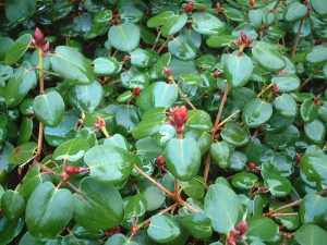 R.williamsianum har næsten cirkulært løv. Her særlig smukt i regnvejr. De røde blomsterknopper er en ekstra gevinst.