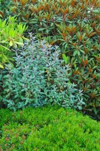 """I baggrunden ses R. bureavii, i midten tv. anes R. strigillosum, i midten ses den """"blåtonede"""" R. oreotrephes, alle 3 fra Kina. I forgrunden vokser den lave og meget kompakte R. ferrugineum fra Europas Alper."""