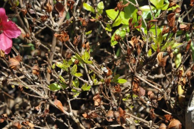 Japansk Azalea 'Estrella' med nyvækst medio juni 2013. Nu kan det gamle vinterskadede løv klippes af.