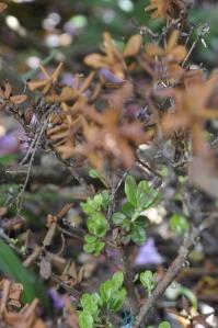 Dværgrhododendron med kraftig nyvækst. De øverste vinterskadede grene kan klippes af ca. en cm over nyvæksten.