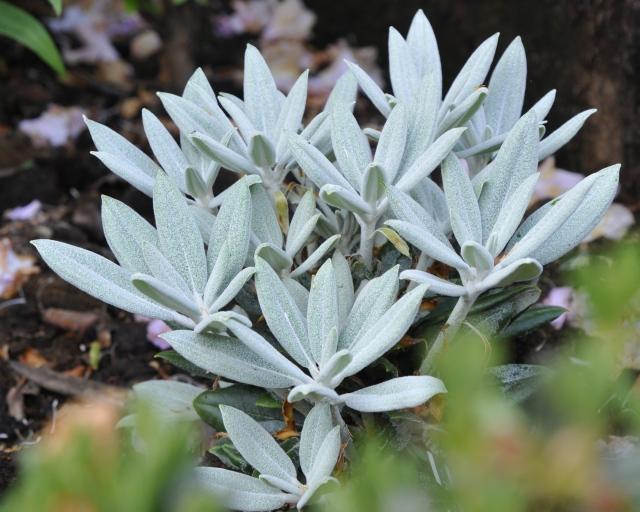 R. pseuochrysanthum 'Golfer' er et artkryds fra USA. Planten priduceres i DK. De næsten blåhvide blade er dækket med et fint vokslag, som holder langt hen på sommeren, inden bladet får sin normale grønne farve.
