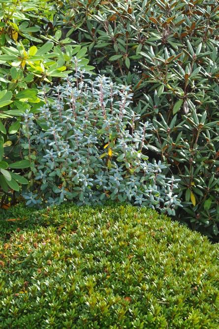 R. oreotrephes er med sin smukke løvfarve med til at berige haven. Naboplanterne er bl.a. R. ferrugineum og R. bureavii.