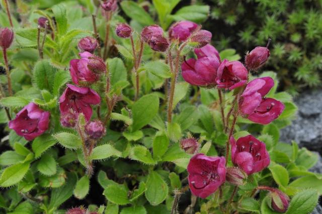 R. camtschaticum 'Red Form'. Billedet er fra den 20. august.