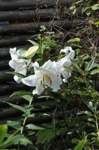 En anden af vores duftende liljer